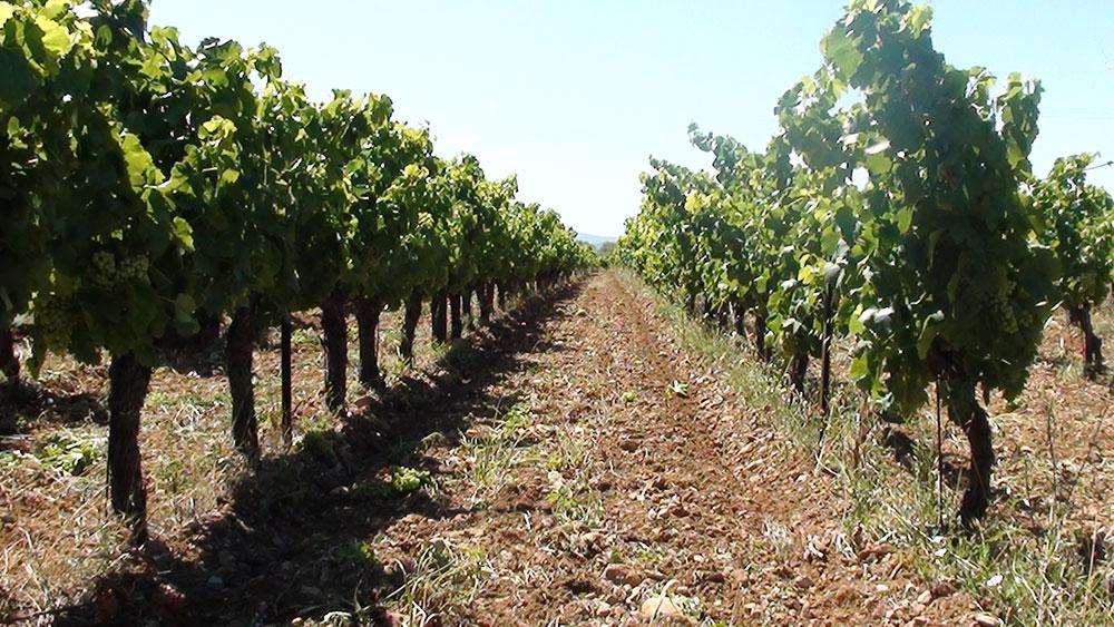 La Culture de la vigne