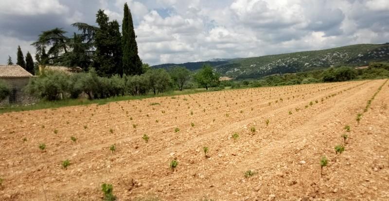 PLANTATION DU GRENACHE BLANC ET VIOGNIER A ANIANE 5