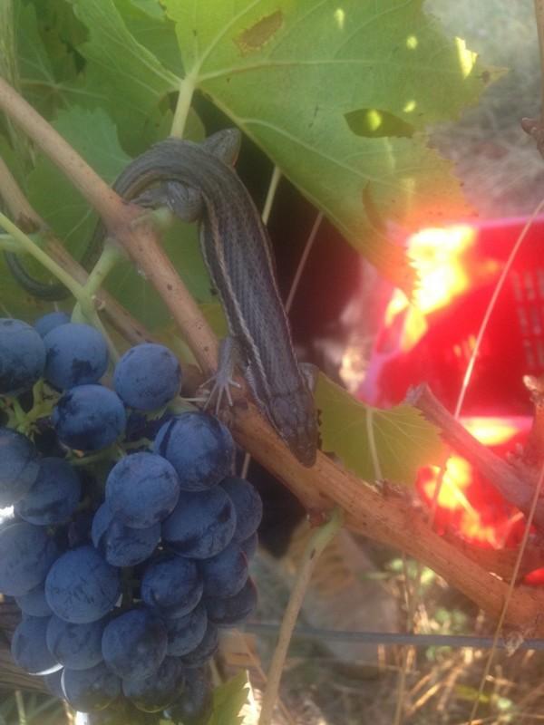 Lézard dans les vignes
