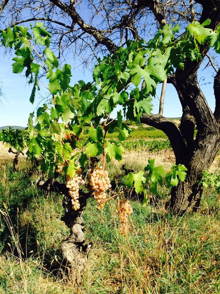 vignes Mas de Boissonnade