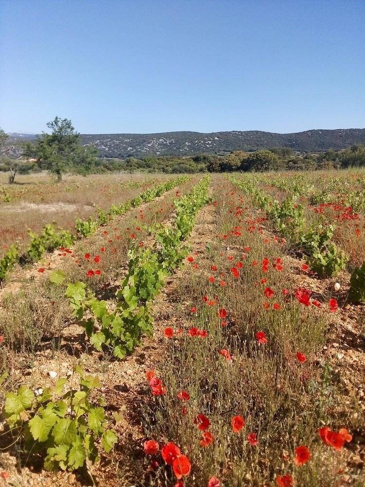 Plantier Aniane Mas de Boissonnade